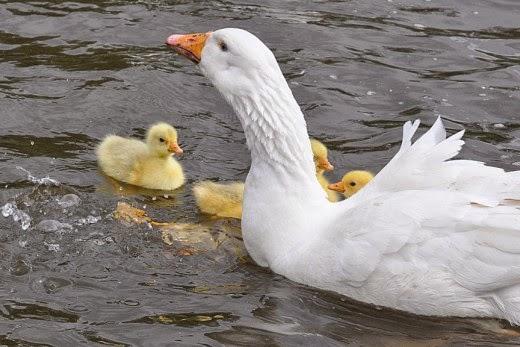 gosling under water