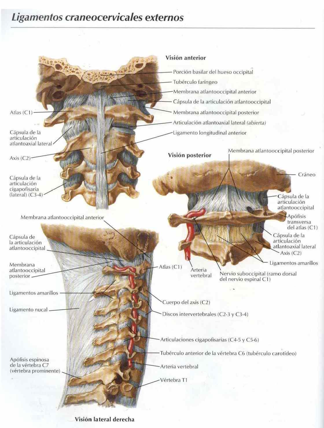 Ligamentos cráneocervicales externos - Salud, vida sana, la medicina ...