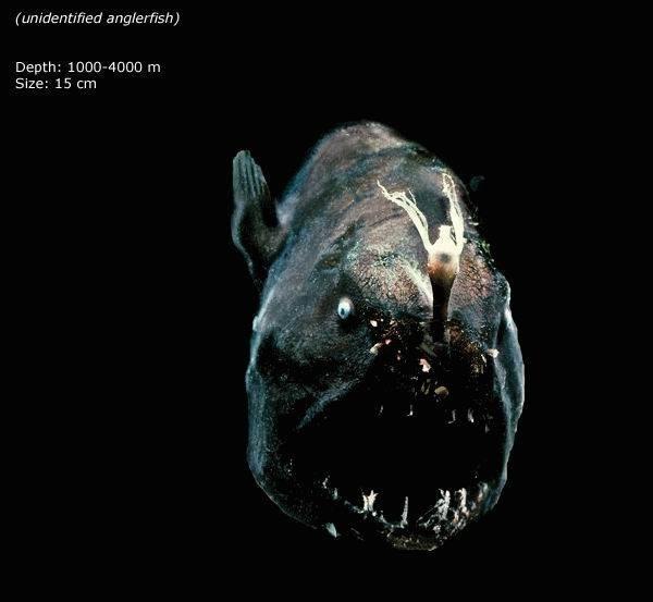 Mariana trench - unidentified anglerfish