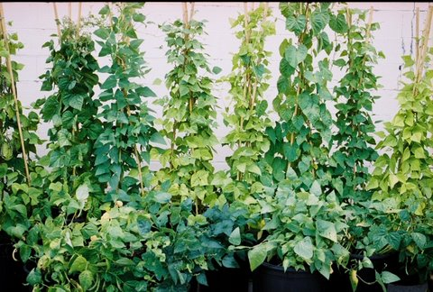 container gardening for beginners. Bean In Container Gardening For Beginners (