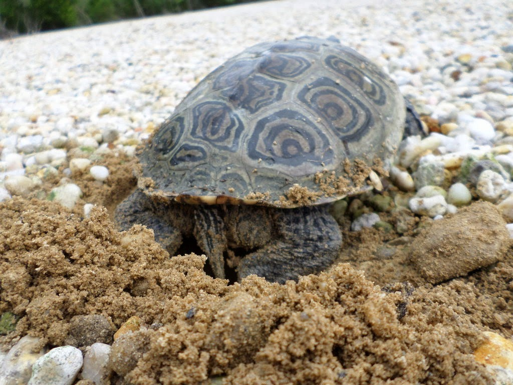 What Do Terrapins Eat And Drink