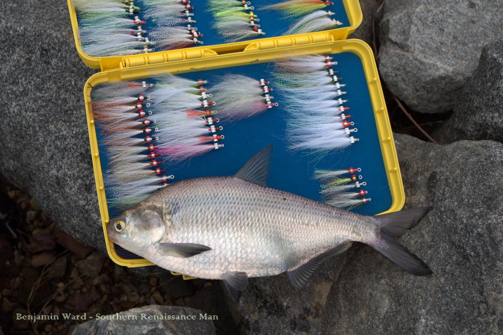 Southern renaissance man shad run james river fly for James river fishing report