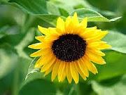 nos fleurs de soleil=notre santé
