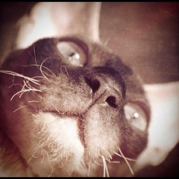 Cornish Rex cat smiling