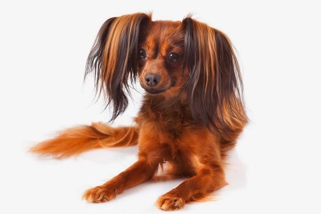 Psy rasy Rosyjski Toy