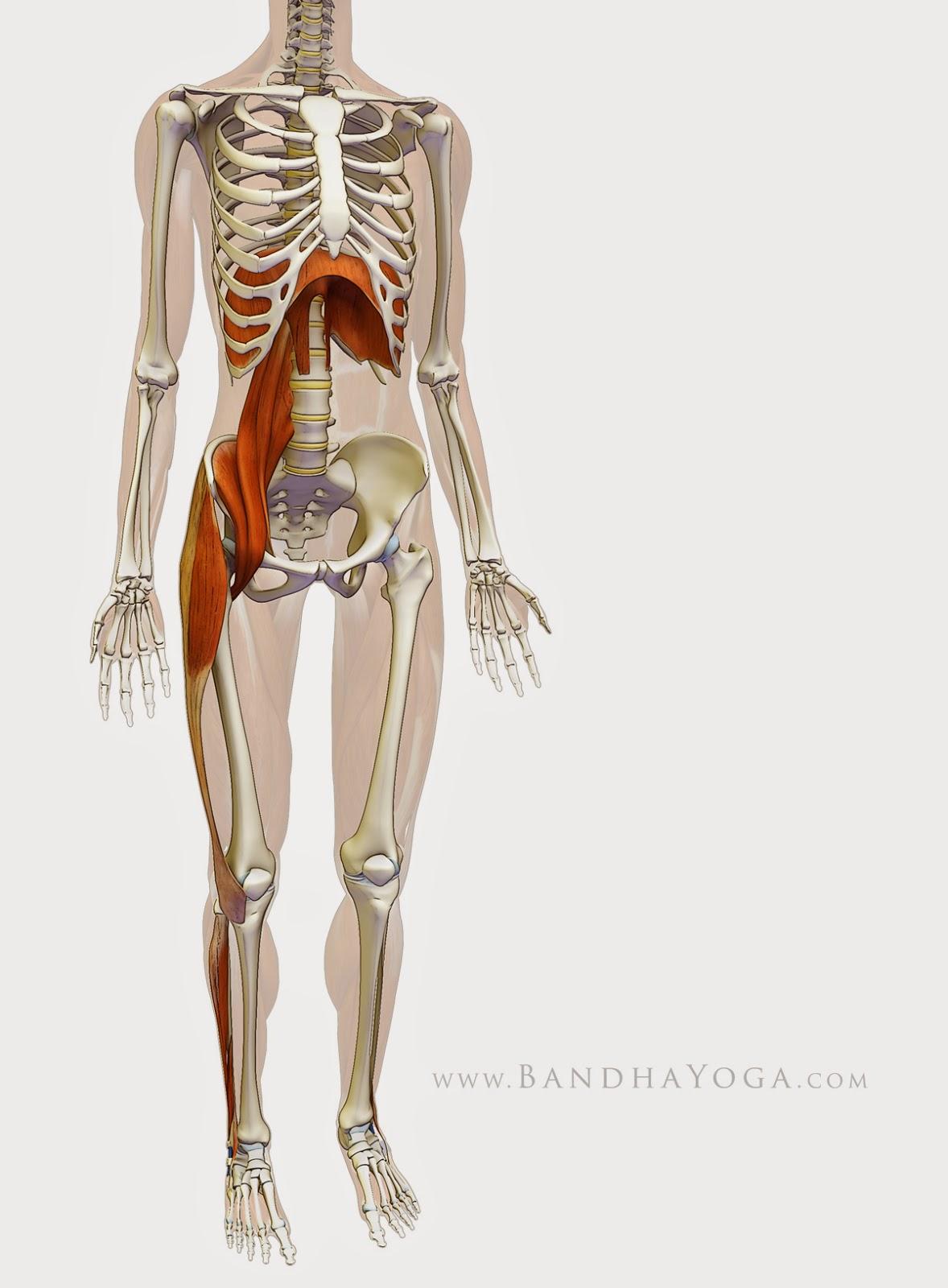 Ανεπιφύλακτα  - Σελίδα 14 Standing_psoas_diaphragm