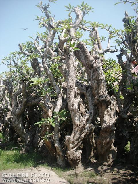 Pohon Kamboja atau Frangipani trees