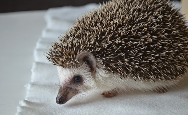 pet hedgehog african pygmy blogger soba