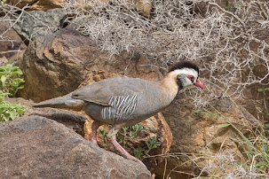 Arabian Partridge (Alectoris melanocephala)