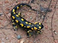 Salamandra en el camí. Autor: Carlos Albacete