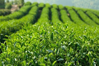 India tea jumps on good demand for new season supply