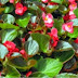 Tempat Wisata Alam Berkebun Bunga Begonia Lembang
