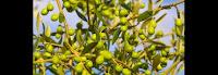 Les vertus naturelles de l'huile d'olive