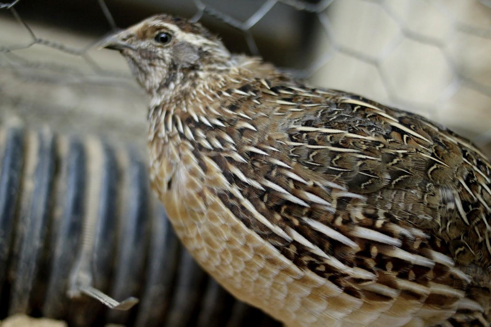 granola funk mama quail update we u0027ve gone free range