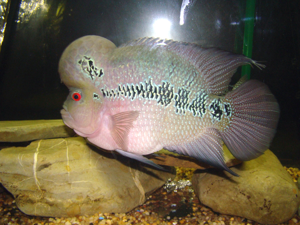 how to breed parrot fish