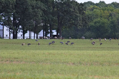 photo of field of sandhill cranes