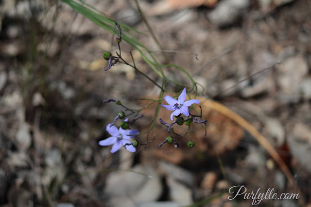 Agrostocrinum scabrum a.k.a. Blue Grass Lily