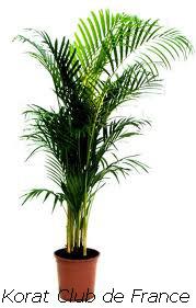 Palmier de Madagascar ou Areca ou Palmier d'Arec