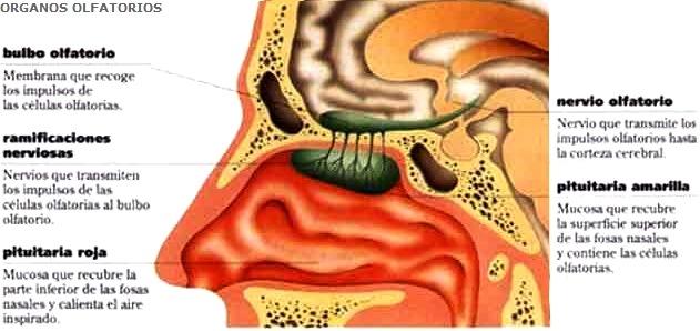 Dibujo del olfato del ser humano indicando sus partes y breve definición