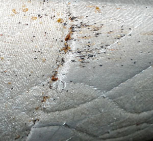 Microscopic bed bugs - photo#1