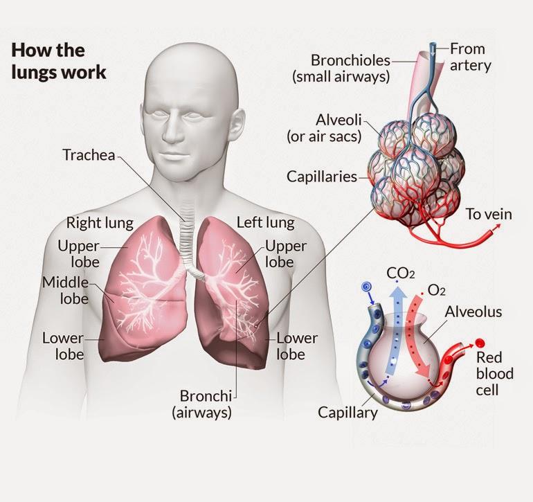 pulminary fibrosis
