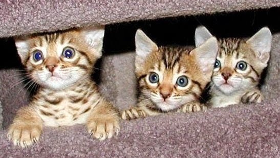 Cute Bengal Kitten