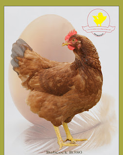 Gà siêu trứng công nghiệp.