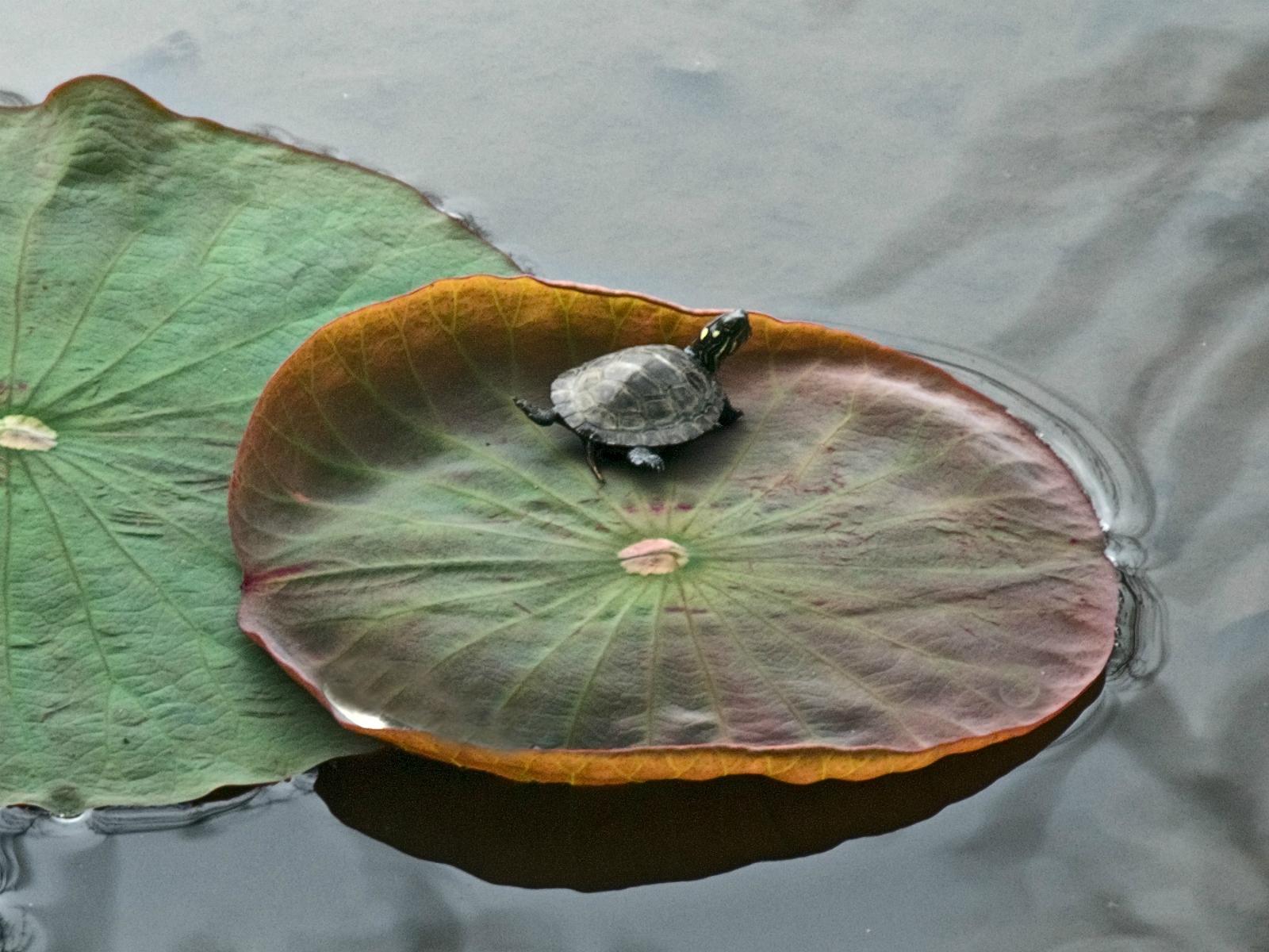 http://3.bp.blogspot.com/-9tBbt4Yi_7c/TmppWplTsqI/AAAAAAAAA3I/LXF-R-ZA3tE/s1600/nature_lilly_turtles_www.Vvallpaper.net.jpg