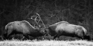 Bull Fight Boxley Valley 10/28/12, Black and White