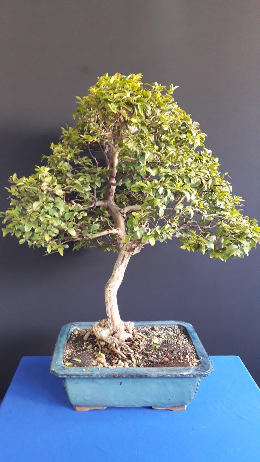 Bonsai  Jabuticaba