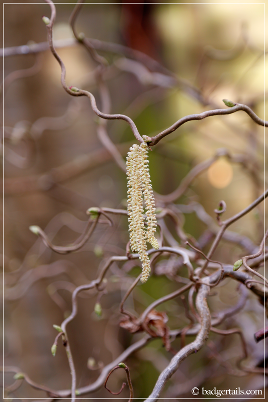 Catkin on Hazel tree