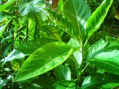 manfaat dan khasiat daun afrika selatan,daun salam,daun pandan,daun binahong,daun seledri,daun pisang,kumis kucing,daun mint,