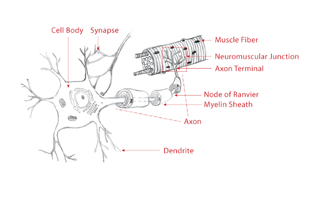 Labelled schematic of a Neuron