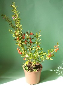 Le bacche di goji un superfrutto energetico e non solo for Coltivazione goji in vaso