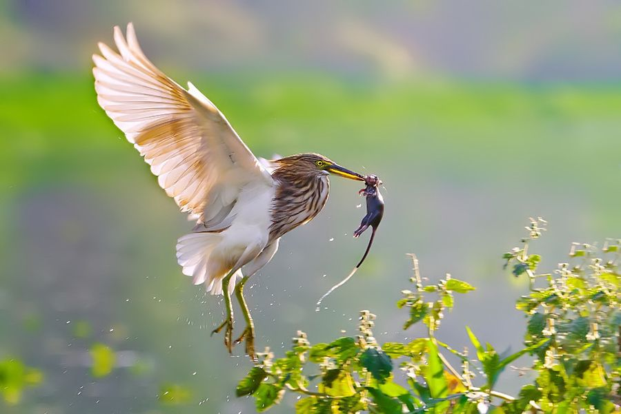 Indian Pond Heron Paddy bird with Mouse