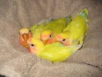 merawat anakan lovebird