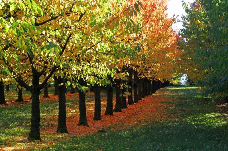 Kirschbäume Baselland, Schweiz