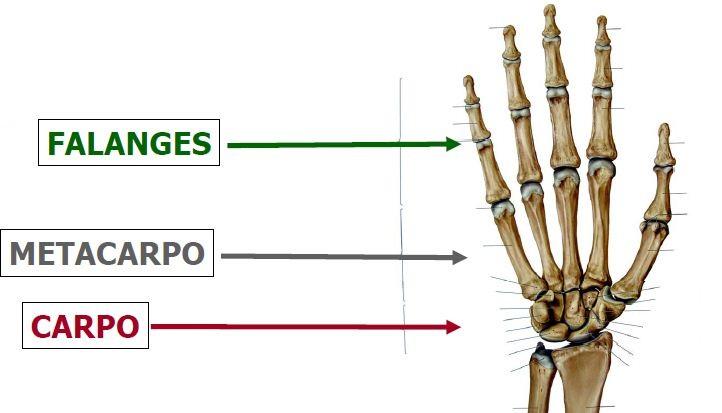 FisioActividad: Complejo articular de la muñeca y mano.