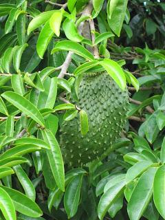 khasiat dan manfaat daun sirsak