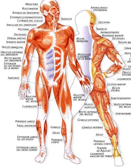 Anatomia Muscular: ANATOMÍA DEL SISTEMA MUSCULAR