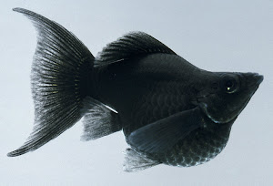 Jual ikan hias Molly & Swordtail