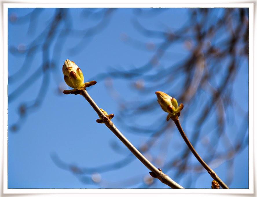 Knoppar om våren