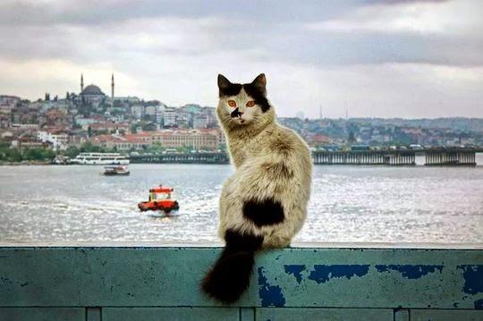 Istanbul kitty