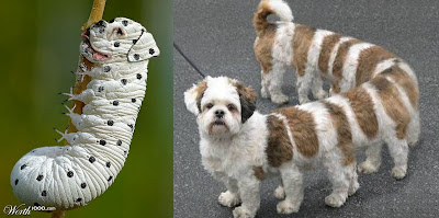 2%2BDogerpillars%252C%2BPhotoshop - The moth that looks like a poodle - Weird and Extreme