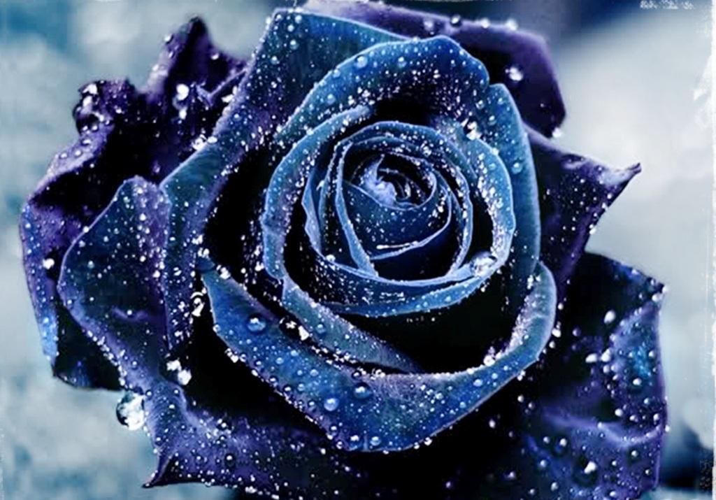 Beautiful Blue Roses Flowers Free Download Wallpaper 1024 X 715