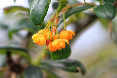 Berberis commutata
