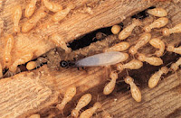 dry wood Termite