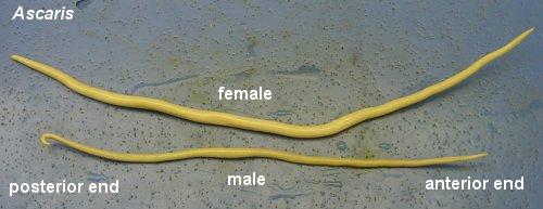 Biology of Animals Ascaris sp