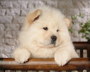 Chow Chow Puppy Picture. Chow Chow Puppy Pictures