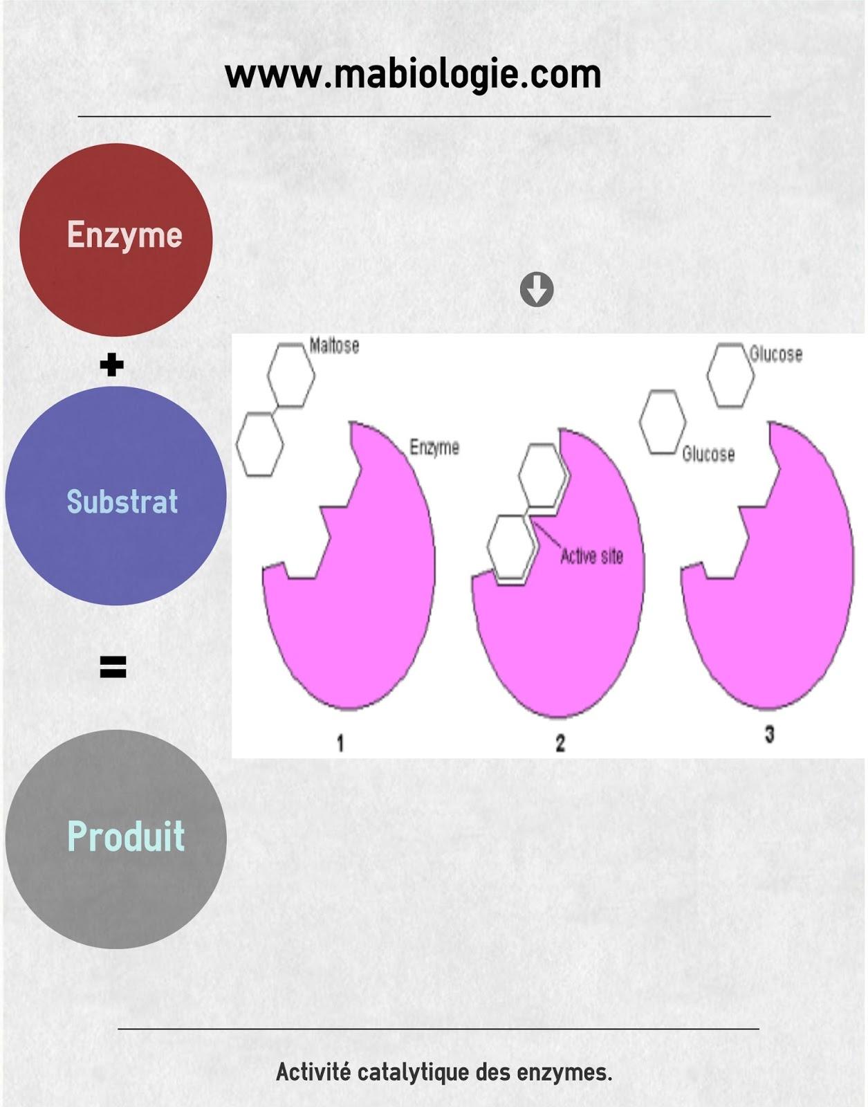 Définition Enzyme